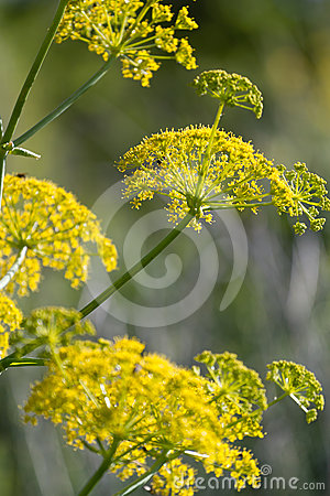Free Wild Fennel Royalty Free Stock Image - 24557496