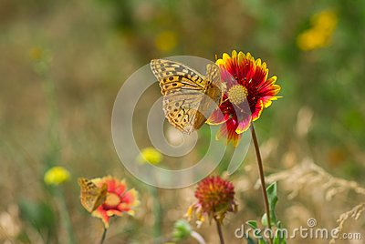 Wild field with feral Indian blanket flowers