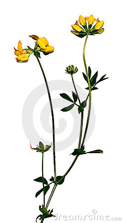 Wild Flower 2 Royalty Free Stock Images - Image: 189839