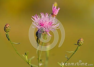 Wild flower pink