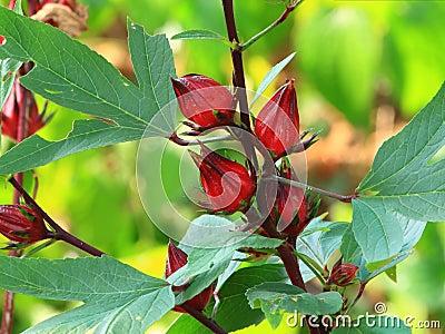 Wild flower of roselle