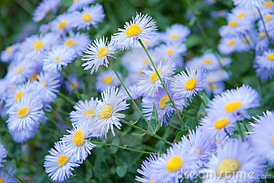 Wild Flowers - Blue Asters