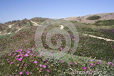 Wild flowers on Cordama Beach, Algarve, Portugal