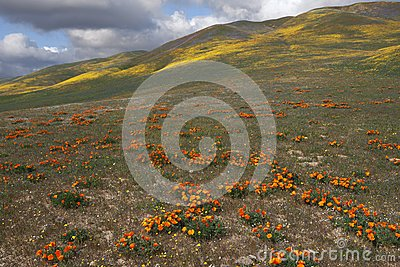 Wild Flowers and Hills