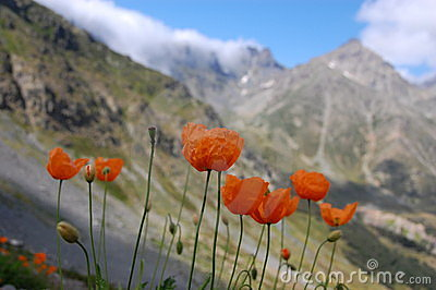 Wild Flowers in Kackar Mountains, Turkey