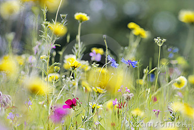 Wild Flowers Meadow Royalty Free Stock Photo - Image: 15020365