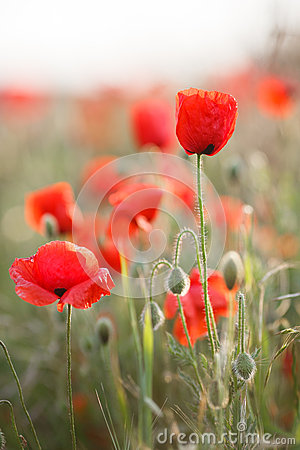 Free Wild Flowers Of The Red Poppy Stock Photos - 71846923