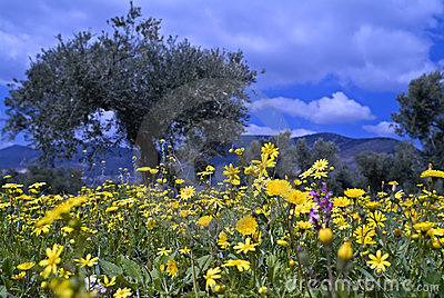 Wild flowers in olive grove