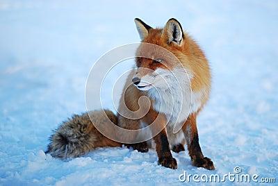 Wild fox