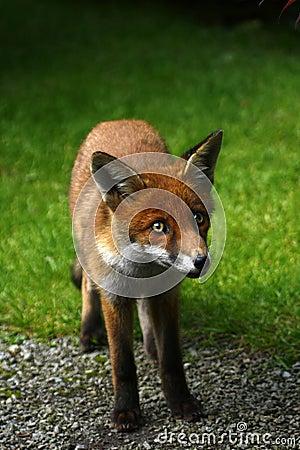 Wild Fox Cub