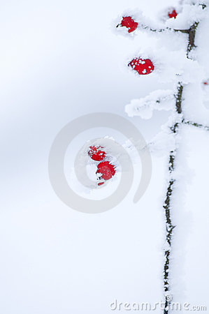 Wild fruits in wintertime