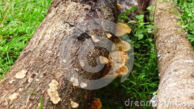 Wild Fungus growing on a fallen tree in woodlands stock footage