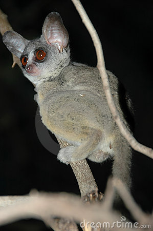 Free Wild Galago (Bush Baby) In The Dark Royalty Free Stock Photos - 8075108
