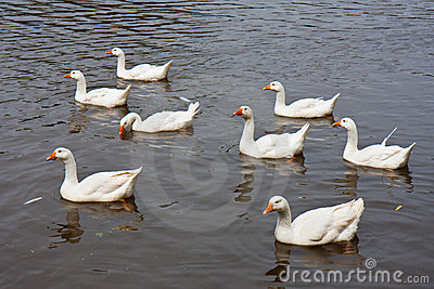 Wild geese swimming in a lake
