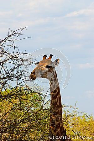 Wild giraff
