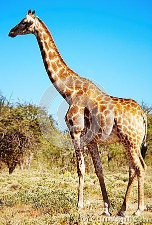 Free Wild Giraffe Royalty Free Stock Photography - 6619877
