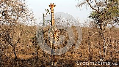 Wild Giraffe, Kruger National Park