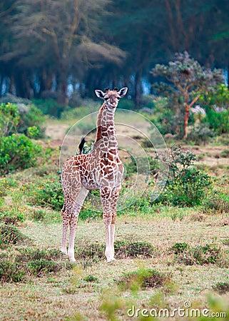 Wild Giraffes in the savanna