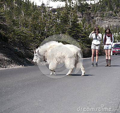 Wild goat crossing the road Editorial Stock Image