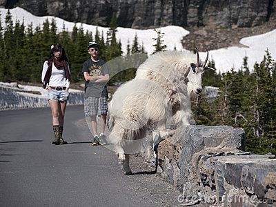 Wild goat crossing stone fence near road Editorial Photography