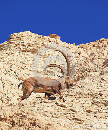 Wild goat with huge horns in the rapid jump