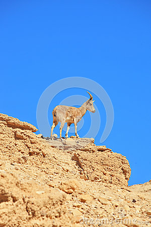 A wild goat prepares to jump