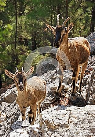 Free Wild Goats Kri-kri In Samaria Gorge Royalty Free Stock Photography - 18259237