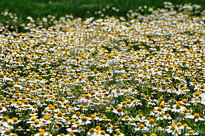 Wild gold chamomile field