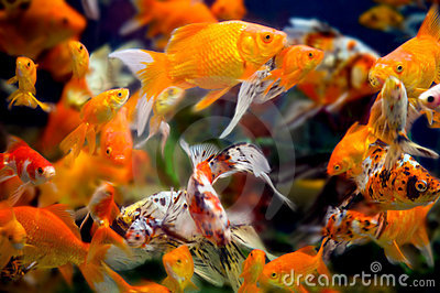 WIld goldfish in an aquarium