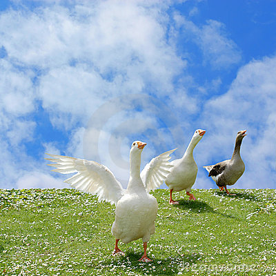 Free Wild Goose Chase Royalty Free Stock Photography - 2494237