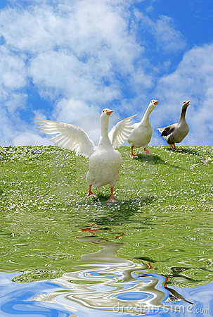 Free Wild Goose Chase Stock Photo - 2494240