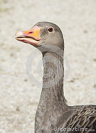 Wild goose head