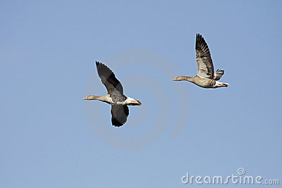 Wild gooses, Lower Saxony, German