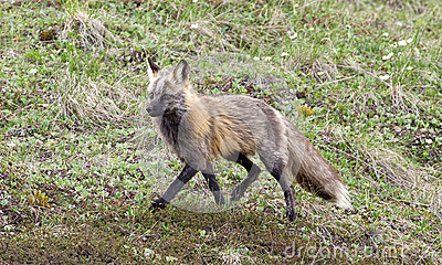 Wild grå räv