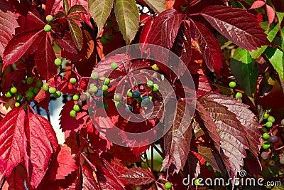 Wild grape in autumn
