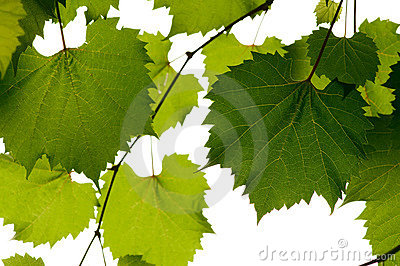 Wild grape leaves