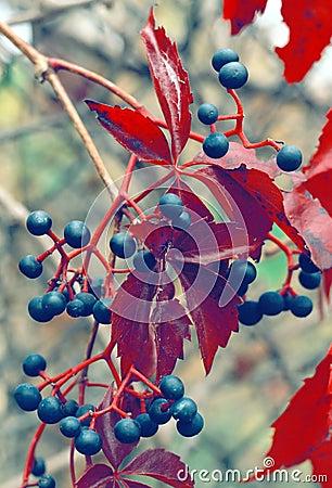 Wild Grapes Ontario Canada