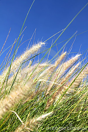 Wild grass on the blue Sky
