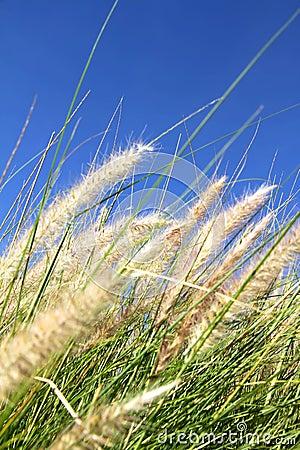 Wild grass on the blue Sky