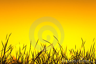 Wild grass silhouette