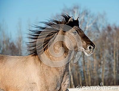 Wild gray horse