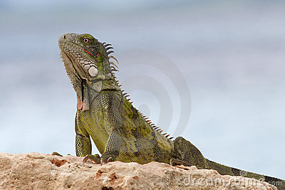 Wild Green Iguana on rock