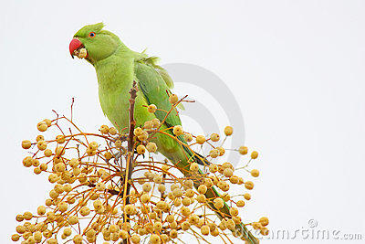 Wild Green Parrot Eating
