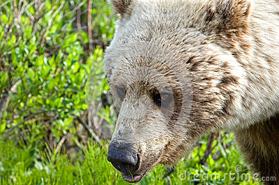 Wild Grizzly Up Close
