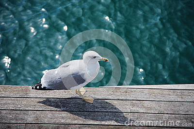 Wild gull