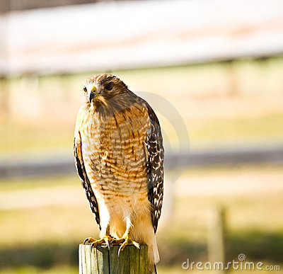 Wild hawk on fence post