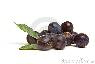 Wild Hedgerow Sloes