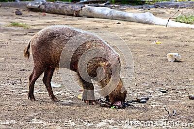 Wild hog animal on the beach