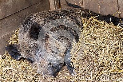 Wild hog with straw