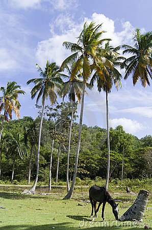 Wild horse browse near coconut palms